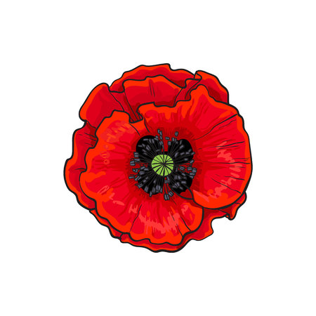 Illustration pour Vector red poppy flower blooming closeup. Isolated illustration on a white background. Realistic hand drawn blossom with stem. Floral design object. Summer, spring sign, symbol. - image libre de droit