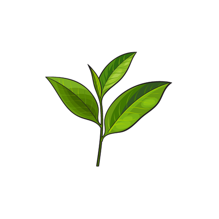 Illustration for vector sketch cartoon style green tea leaves branch. Isolated illustration on a white background. Hand drawn young saplings sri-lanka , india symbols. Elements for graphic design - Royalty Free Image