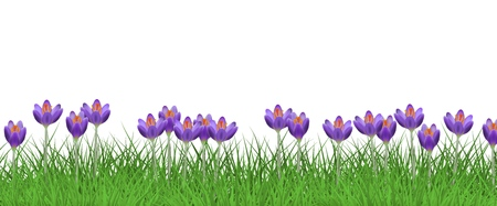 Illustration pour Spring floral border with bright purple crocuses on fresh green grass isolated on white background - decorative frame with beautiful seasonal lawn flowers on greenery in vector illustration. - image libre de droit