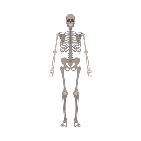Illustration pour A human skeleton front view flat style vector illustration isolated on a white background. Halloween party and biological or medicine post design element. - image libre de droit