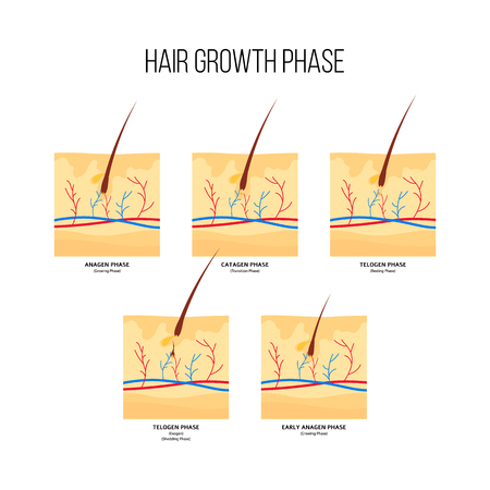 Illustration pour Human hair growth stages scheme flat style, vector illustration isolated on white background. Diagram of hair follicles in anagen and catagen and telogen phases, anatomical medical infographics - image libre de droit