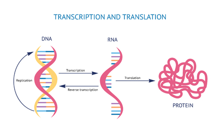 Illustration pour Scientific biological model DNA and RNA transcription and translation vector illustration isolated on white background. Spiral genetic structure for educational concepts. - image libre de droit