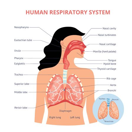 Illustration pour Respiratory system of human the anatomy of airways vector medical banner or placard illustration with names of breathing organs. Physiology educational diagram. - image libre de droit