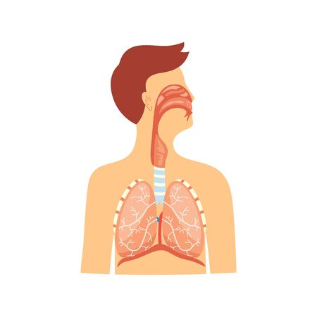 Illustration pour Anatomical educational medical scheme of respiratory system vector illustration isolated on white background. Diaphragm and trachea, rib cage and lungs diagram. - image libre de droit