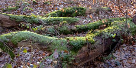 View of rotted trees covered with moss