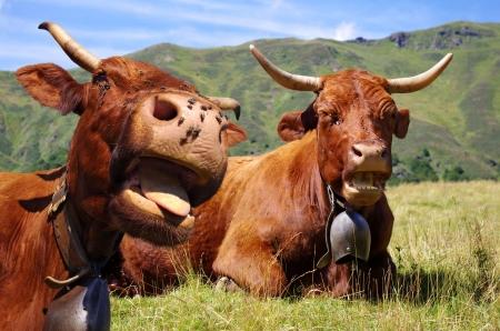 Photo pour French cows sticking out tongue - Rural scene - image libre de droit