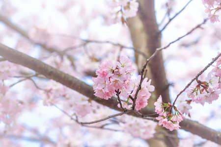 Photo pour Spring natural background. Delicate blooming sakura in a spring park - image libre de droit