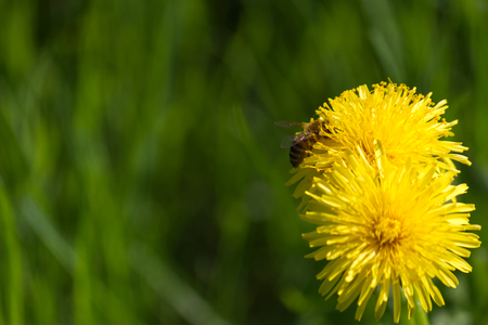 Photo pour Bee on a dandelion full of nectar-Stock Photos - image libre de droit