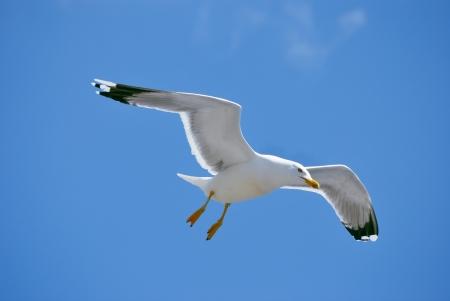 Photo for sea bird seagull. nature closeup - Royalty Free Image