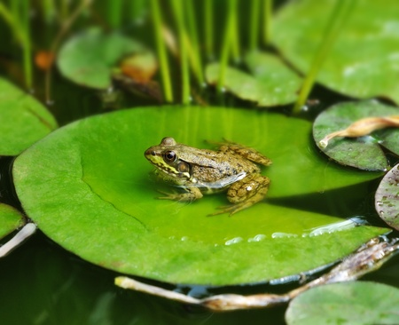 a Frog resting on a lotus leaf