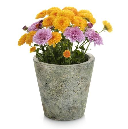 Mums Flowers In A Flower Pot