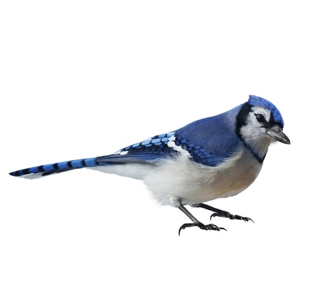 Blue Jay (Cyanocitta cristata) ,On White Background