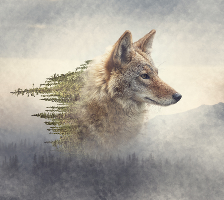Photo for Double exposure of coyote portrait and pine forest on the mountain - Royalty Free Image