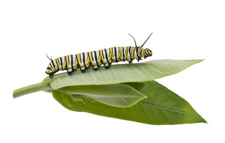 Photo pour Monarch Caterpillar on milkweed leaf isolated on white background - image libre de droit