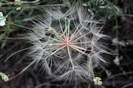 big dandelion seeds in spring