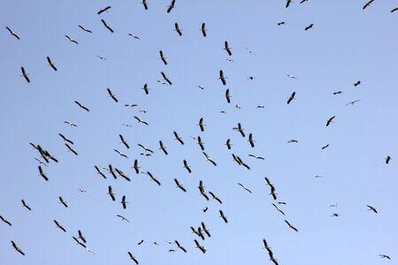 Photo pour flock of storks migrating in autumn - image libre de droit