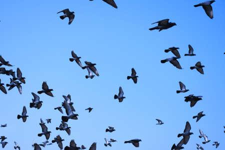 Photo pour Domestic pigeons / feral pigeon (Gujarat - India) flock in flight against blue sky - image libre de droit