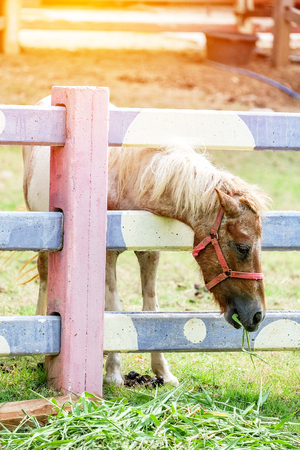 A head shot of little horse eating hay.