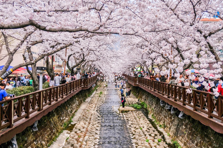 Photo for 1 APRIL 2018 : Many tourist came to Jinhae, South Korea, to see beautiful blooming Cherry Blossom during Jinhae Gunhangje Festival which was held from 1 to 10 April 2018 - Royalty Free Image
