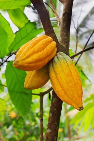Cocoa tree with pods, Bali island, Indonesia