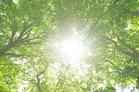 Beech forest green