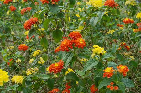 Orange flower, Lantana camara flower is isolated on white background