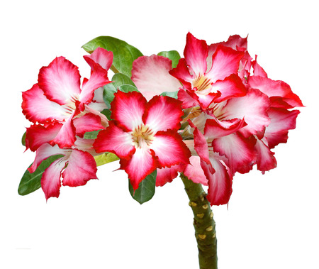 beautiful fresh red Azalea flowers isolated on white background, stack focus added, all objects are in focus.
