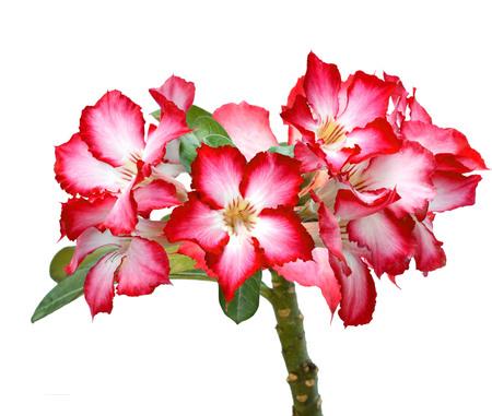 Desert Rose, Impala Lily, Mock Azalea