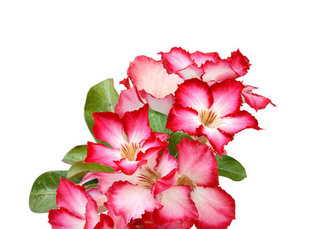 Pink desert rose blooming isolated on white background