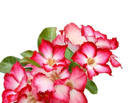 Desert Rose flower isolate