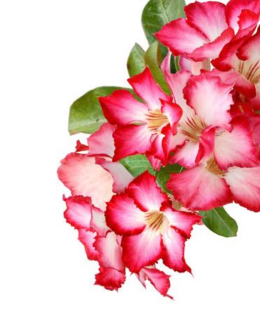 Pink adenium flowers isolate