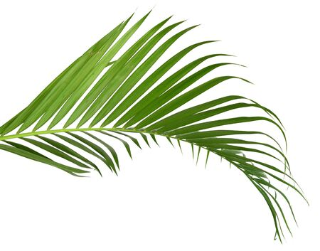 Photo for Green leaves of palm tree on white background - Royalty Free Image