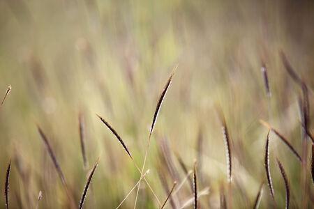 reeds grass