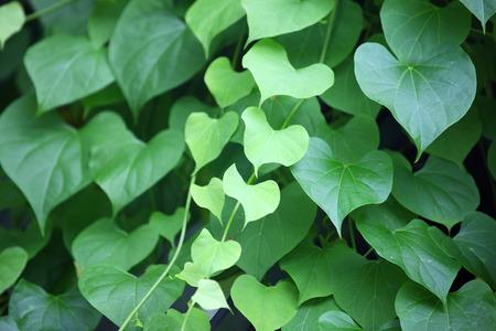 Photo pour heart shape leaf as background. - image libre de droit
