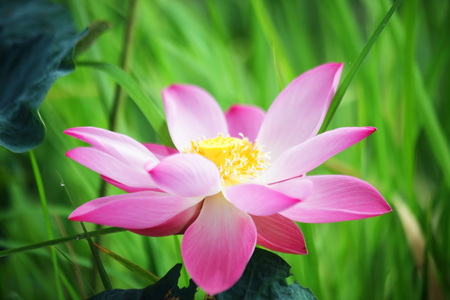 Photo pour close up of beautiful lotus flower background. - image libre de droit