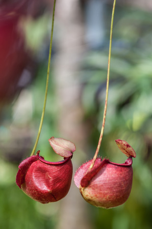 Nepenthes carnivorous plant