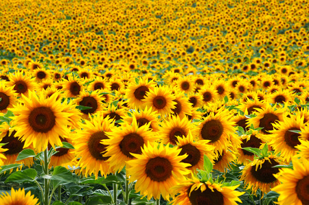 Photo pour Sunflower field - image libre de droit
