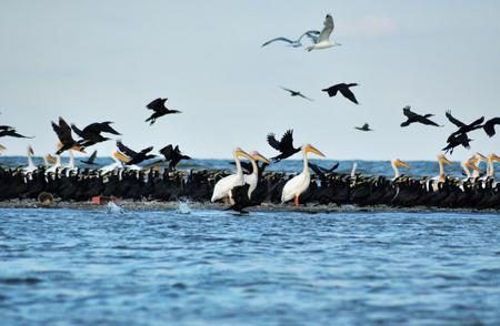 Flock of birds in the Danube delta