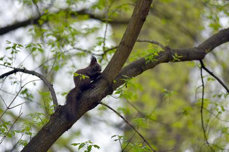 Cute squirrel on a tree branch (Sciurus vulgaris)
