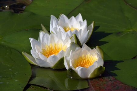 macro white water lilies in a pond in summer