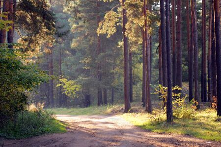 autumn landscape road through a pine forest at sunset