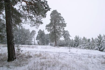 winter landscape of pine forests, the trees are covered with frost and snow