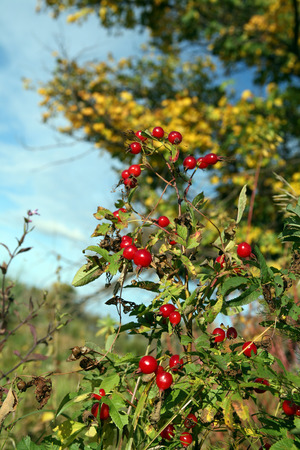 macro bright ripe red rosehip berries on a branch on a background of yellow foliage in the early autumn