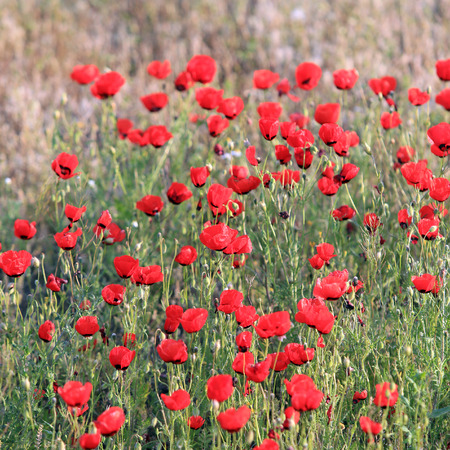 Red poppy flowers field, close-up early in the morning