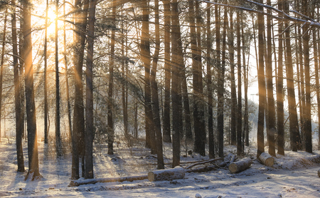 winter landscape of the sun's rays through the frosted branches of the trees in pine forestの写真素材
