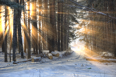 Foto de winter landscape of the sun's rays through the frosted branches of the trees in pine forest - Imagen libre de derechos