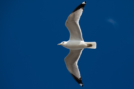 Beautiful seagull flying on the blue sky
