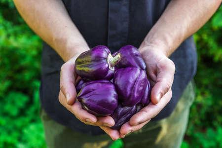 Foto für Organic vegetables. Healthy food. Fresh organic purple pepper in farmers hands. Gardening or harvest concept. close up - Lizenzfreies Bild