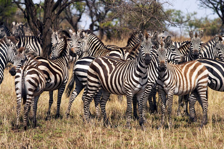 Zebra herd in the Serengeti