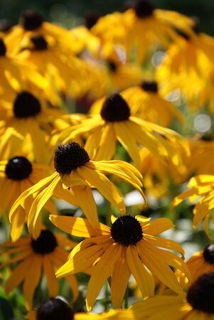 yellow heads